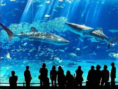 WhaleSharksInOkinawaAquarium1
